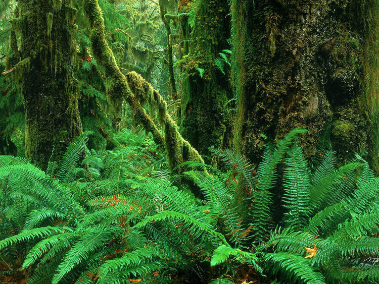Hoh Rainforest Olympic National Park Washington