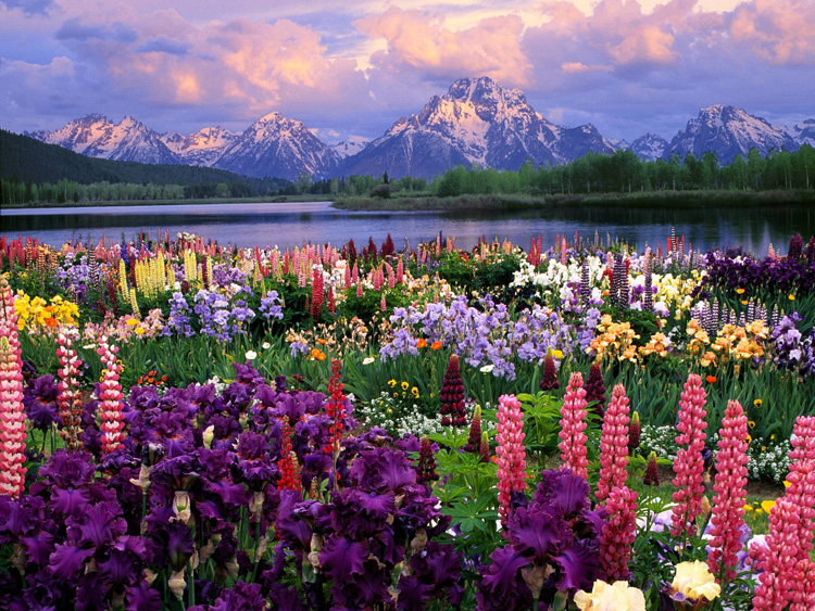 Grand Teton and Wild Flowers Wyoming
